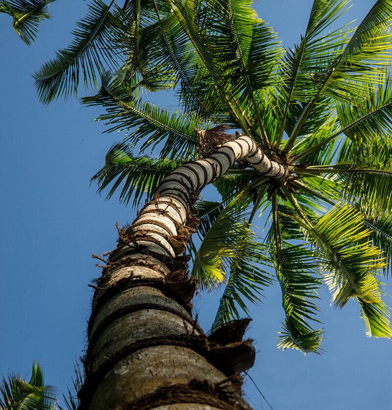 Coconut in Sri Lanka