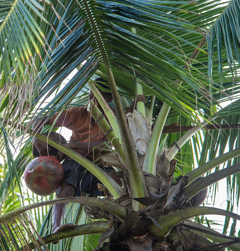 Coconut Toddy in Sri Lanka