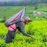 Tea Plucking in Sri Lanka