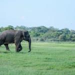 Elephants Seeing in Sri Lanka