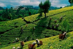 Tea Plucking Experience in Sri Lanka