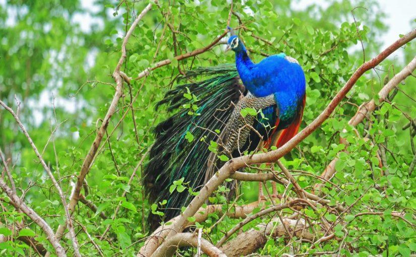 Peacocks in Sri Lanka