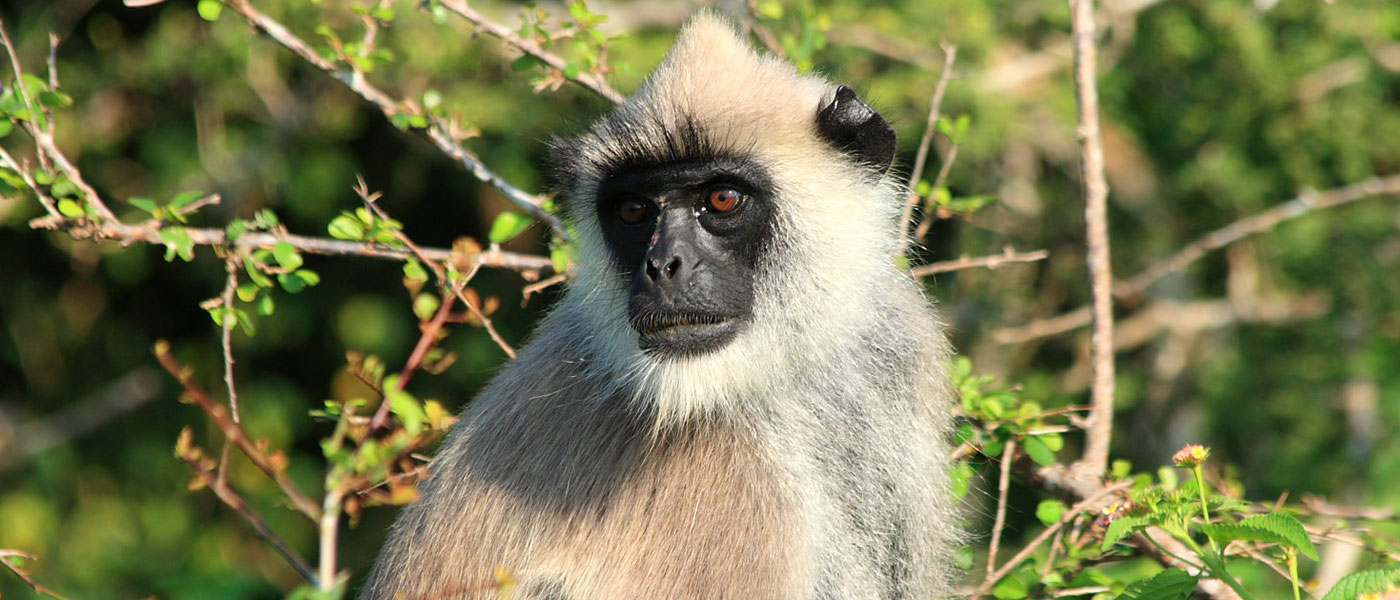 Gray Langur - Lunugamvehera National Park