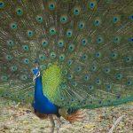 Peacocks - Yala National Park